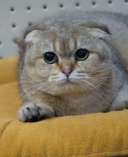 Golden Scottish Fold