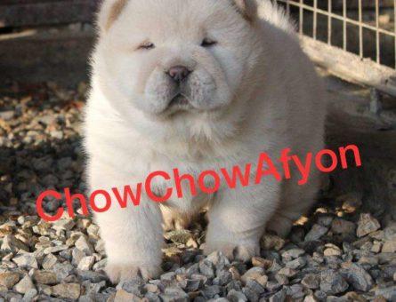 Yavru Chow Chow