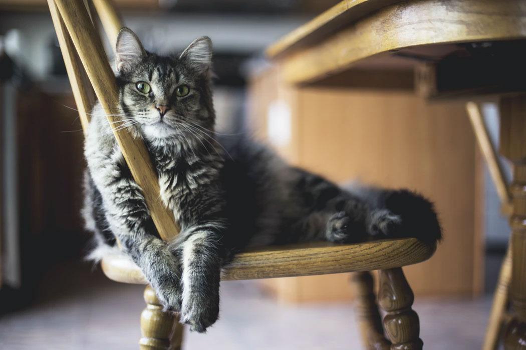 kedi ve sandalye