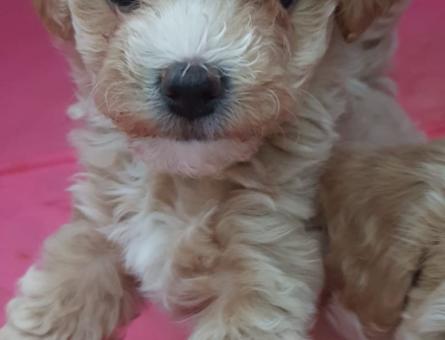 Sevimli Mini toy poodle