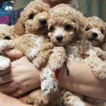 Yavru Mini Toy Poodle