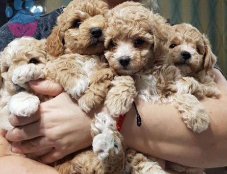 Yavru Mini Toy Poodle